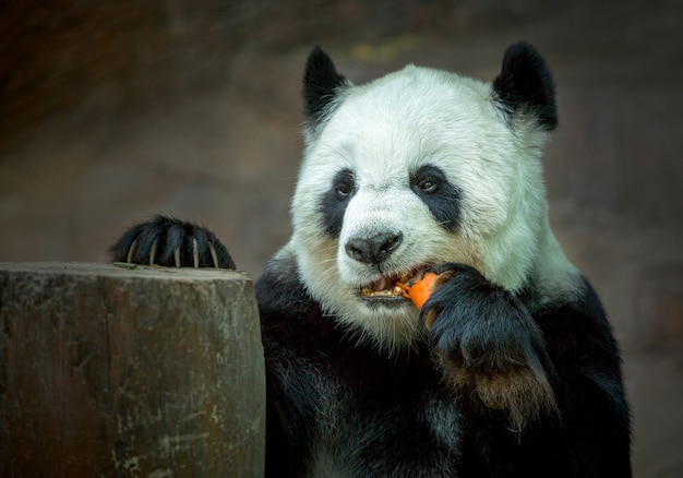 Panda mangeant des carottes.