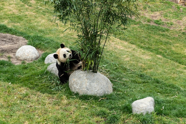 Panda mignon mange du bambou