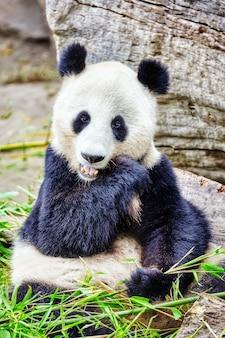 Le panda mignon d'ours mâche activement une pousse de bambou verte.