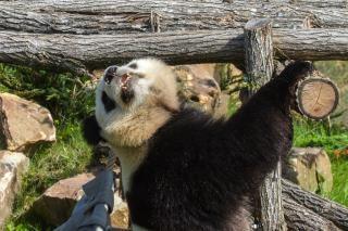 Panda panda géant en chine ours