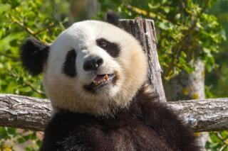 Panda panda géant en chine