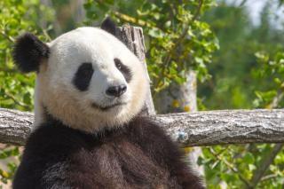 Panda panda géant zoo