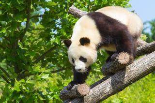 Panda panda géant