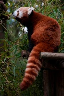 Panda rouge mangeant du bambou