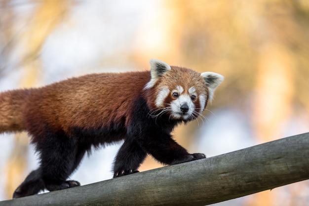 Panda rouge ou petit panda, ailurus fulgens, marchant sur un tronc d'arbre