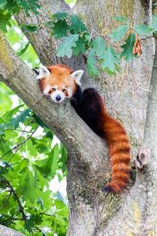 Panda roux - ailurus fulgens - portrait. animal mignon reposant paresseux sur un arbre, utile pour les concepts d'environnement.