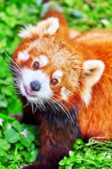 Le panda roux dans son habitat naturel à l'état sauvage.