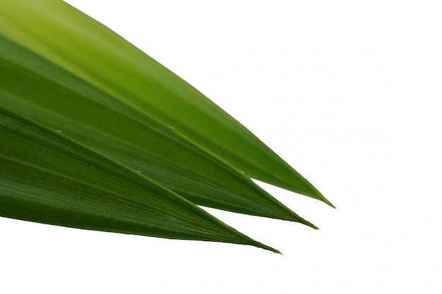 Pandan vert frais laisse fond blanc isolé