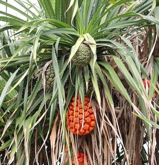 Pandanus tectorius fruit