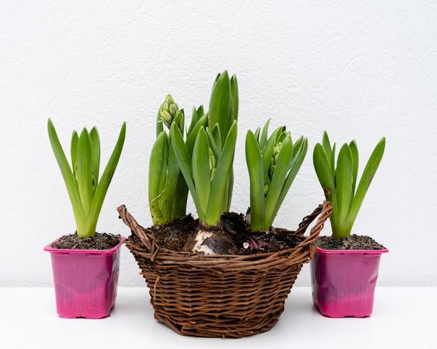 Panier avec bulbes de plantes