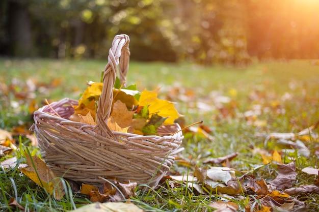 Un panier avec des feuilles d'érable d'automne jaune se dresse sur l'herbe en colère au soleil. copiez l'espace, gros plan.