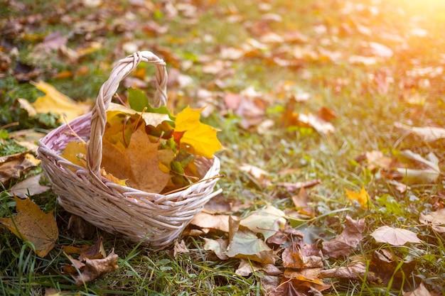 Un panier avec des feuilles d'érable d'automne jaune se dresse sur l'herbe en colère dans l'espace de copie du soleil en gros plan