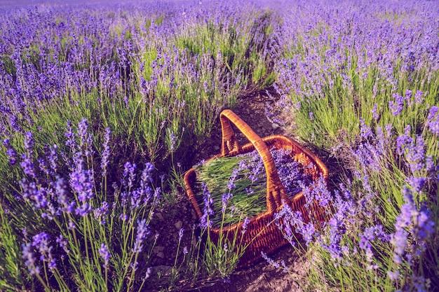 Panier à la lavande dans le champ