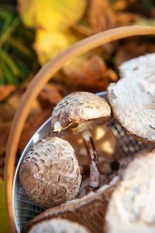 Panier avec un manche en bois dans lequel se trouvent des champignons comestibles des parapluies reposent sur des feuilles jaunes tombées. fermer.