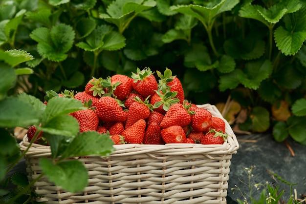 Panier en osier avec de délicieuses fraises rouges juteuses