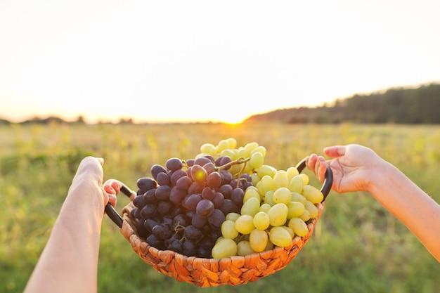 Panier en osier avec récolte de raisins bleus et verts dans les mains, fond coucher de soleil, paysage, nature, espace copie ciel
