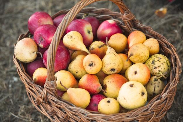 Panier plein de pommes et de poires de fruits frais cassés de l'arbre
