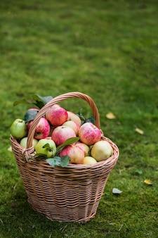 Panier de pommes dans le jardin d'automne, récolte