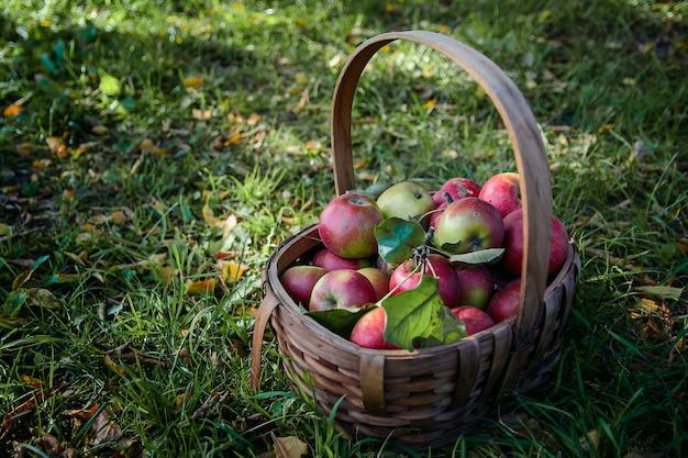 Panier avec des pommes sur l'herbe verte