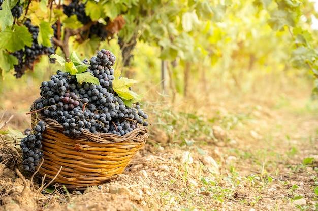 Panier de raisins au sol dans un vignoble pendant le concept d'automne des vendanges avec espace de copie