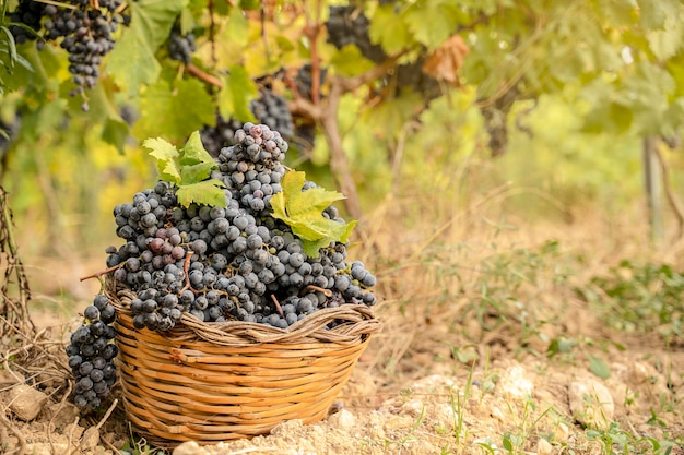 Panier de raisins dans un vignoble pendant les vendanges