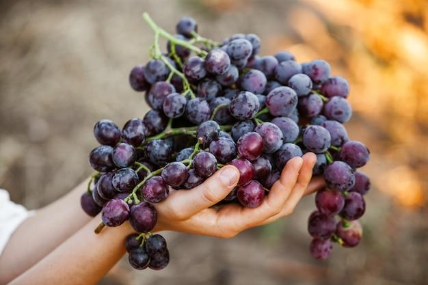 Panier de raisins noirs raisins de vin rouge vignoble français