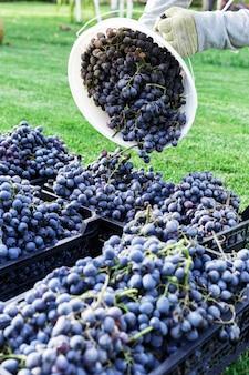 Paniers de grappes mûres de raisins noirs à l'extérieur