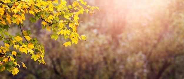 Panorama d'automne avec des feuilles d'érable jaunes sur fond flou, fond d'automne