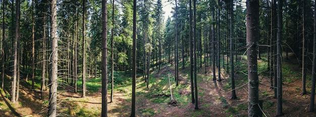 Panorama de la belle forêt de pins verts dans les montagnes de la roumanie