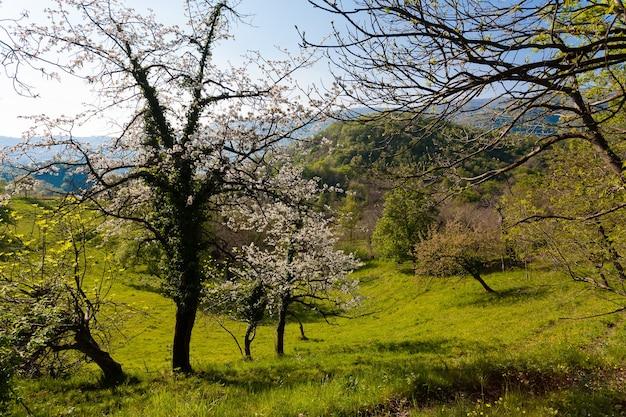 Panorama des cerisiers sur les collines avec de l'herbe verte