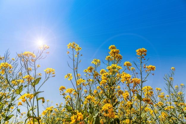 Panorama du champ fleuri, colza jaune