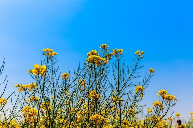 Panorama du champ en fleurs, colza jaune