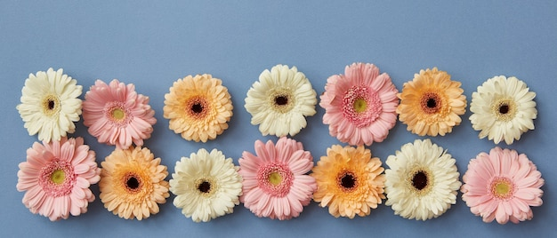Panorama de fleurs de gerberas sur fond de papier bleu. de la fête des mères en carte postale ou en économiseur d'écran sur le site. mise à plat