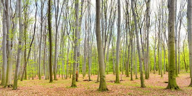 Panorama de la forêt printanière verte avec de nouvelles feuilles vertes sur les arbres