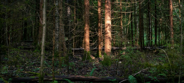 Panorama de la forêt sauvage avec des troncs de vieilles épinettes illuminées par un rayon de soleil en soirée d'été