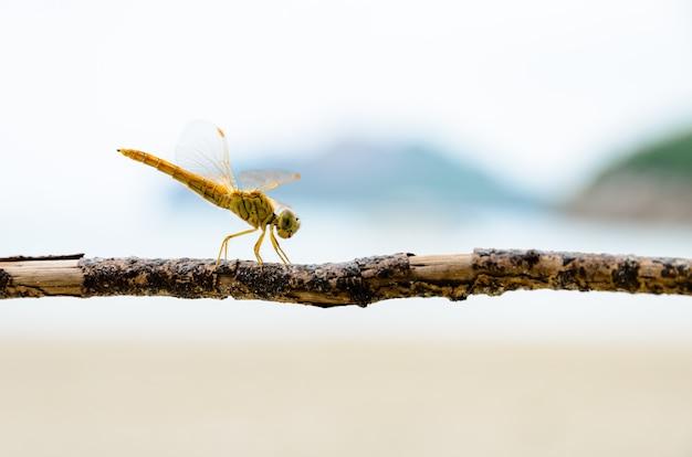 Pantala flavescens, globe skimmer ou wandering glider, libellule jaune perchée sur une branche à la plage