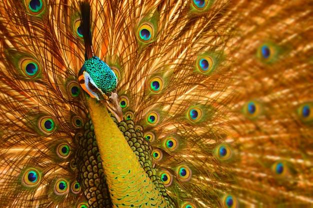 Le paon a l'air gracieux et beau, de face