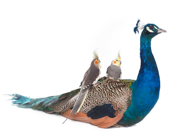 Paon bleu mâle et calopsitte
