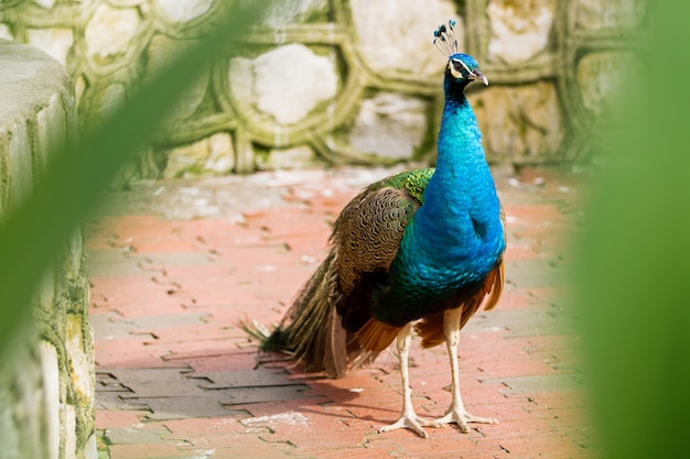 Paon indien (bleu) ou paon (pavo cristatus).