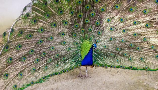 Paon mâle déployant ses belles et attrayantes plumes. concept nature ou zoo