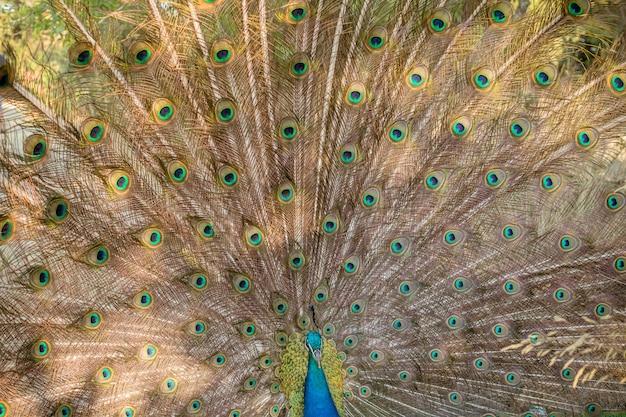Paon mâle avec plumes de son conte entièrement dévoilées.