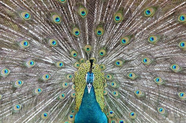 Paon montrant un beau plumage en saison de panage