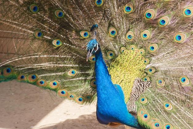 Paon montrant des plumes bleues et vertes