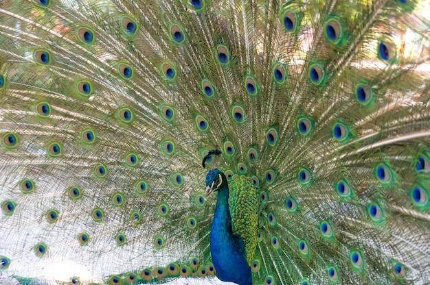 Paon montrant sa queue avec des plumes colorées. pavo cristatus