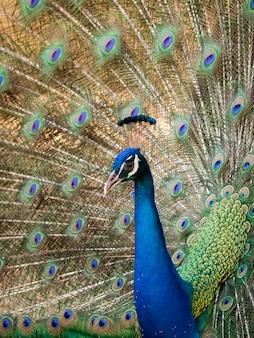 Paon montrant ses belles plumes. animaux sauvages.
