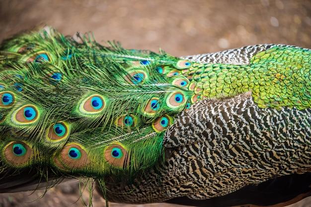 Paon montrant ses plumes de queue étendues