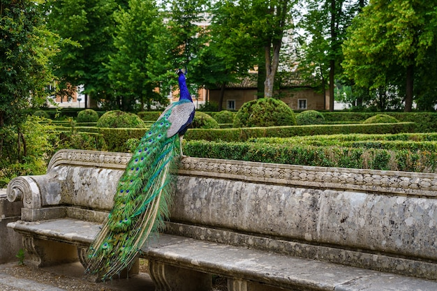 Paon perché sur un banc dans un parc public à la végétation luxuriante
