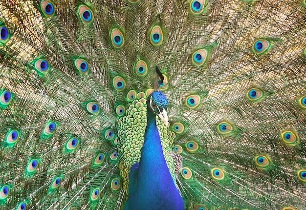 Un paon avec une queue ouverte oiseau ornemental oriental avec des plumes demi-tour bleu et vert vif