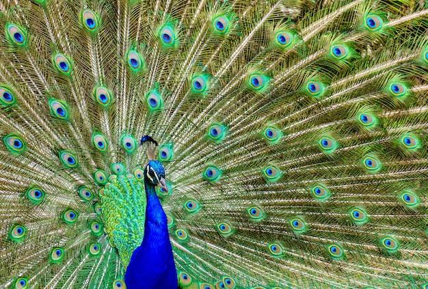 Paon avec sa queue ouverte montrant des couleurs vives dans un arrangement symétrique
