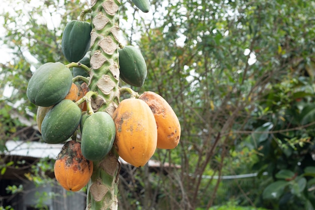 Papaye fruit plante maladie champignon insectes agriculture